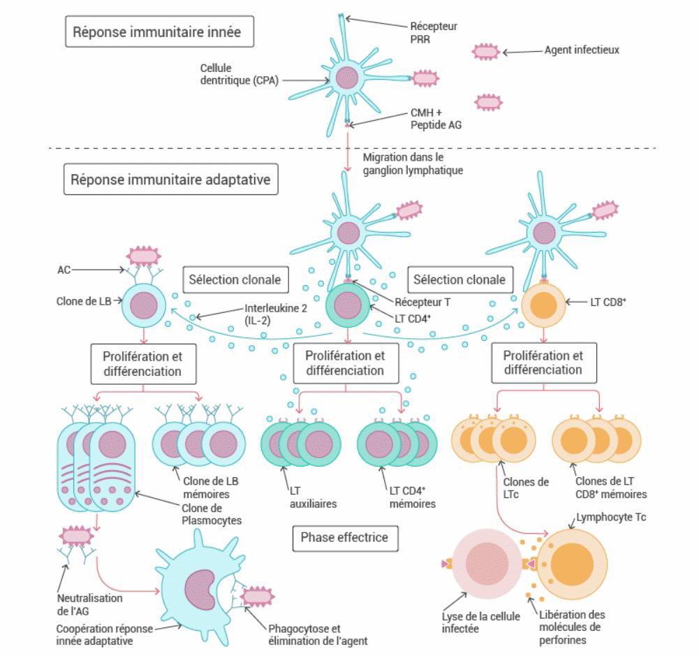 La réaction immunitaire (1) - [1ère Spécialité SVT] - QCM n° 955